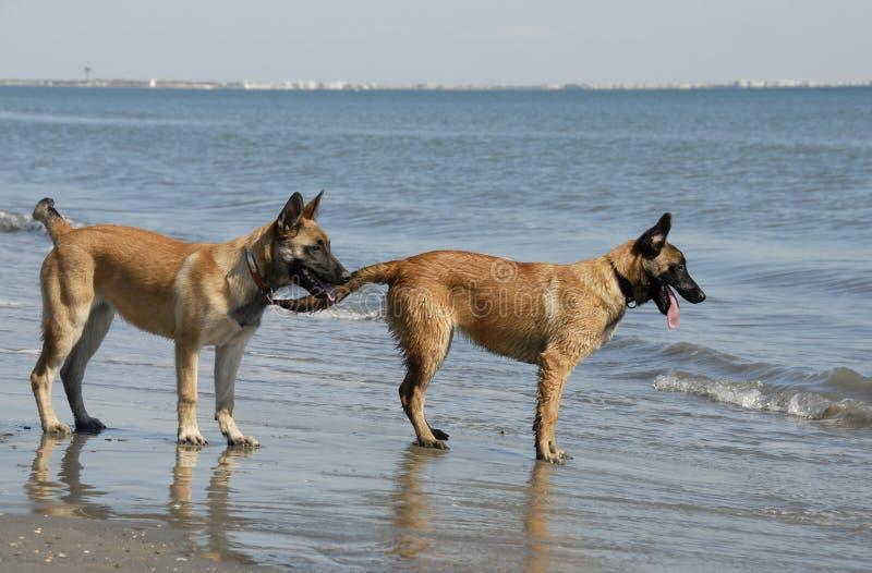 Zwei junge malinois auf dem Strand stockfoto