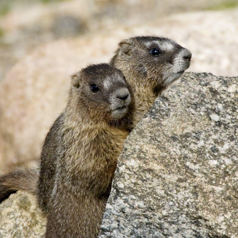 Zwei junge Murmeltiere stockbilder