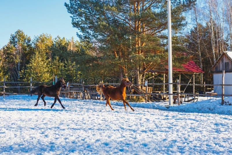 Zwei junge schwarze und rote arabische Hengste lassen Galopp entlang dem Paradeplatz laufen Es schneit, aber Frühling ist gekomme lizenzfreie stockbilder