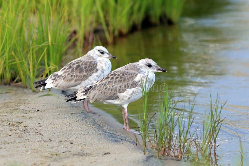 Zwei junge Seemöwen stockfoto
