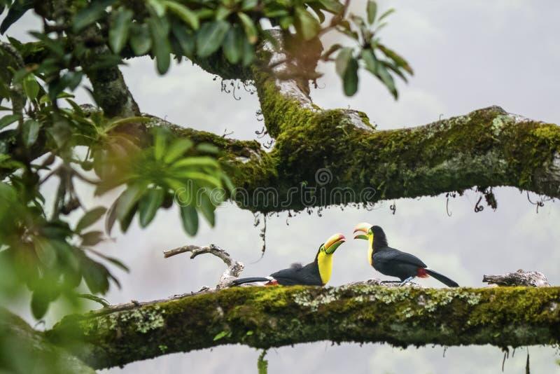 Zwei junge Tukane, die auf einer horizontalen Niederlassung sitzen stockfotografie