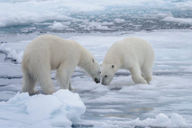Zwei junge wilde Eisbären, die auf Packeise spielen stockfotos