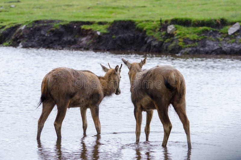 Zwei junger Pere Davids Deer Stand in einem flachen Fluss, wie der Regen um sie fällt stockfoto
