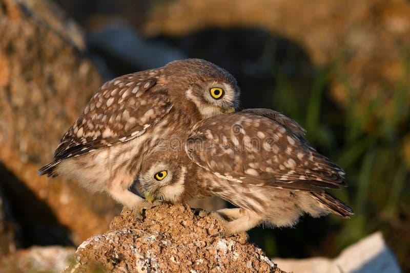 Zwei junger Steinkauz, Athene Noctua, spielend auf dem Naturstein lizenzfreie stockfotografie
