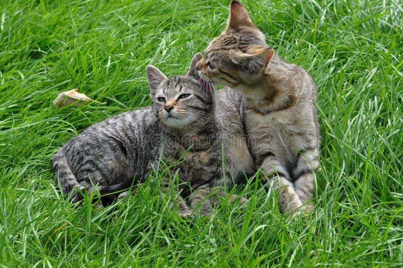 Zwei Kätzchen auf dem Gras stockbild