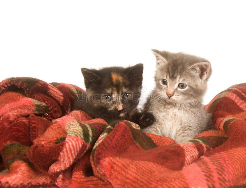Zwei Kätzchen, die auf einer roten Decke stillstehen lizenzfreie stockfotos