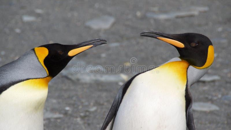 Zwei König Penguins Quarreling lizenzfreie stockfotografie