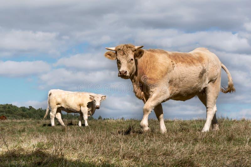 Zwei Kühe auf einem Gebiet stockbild