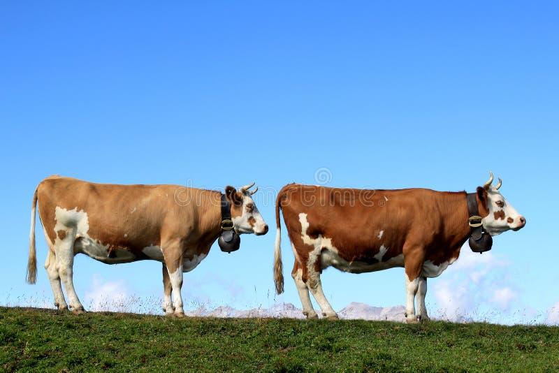 Zwei Kühe in einer Reihe in den Bergen von der Schweiz lizenzfreies stockfoto