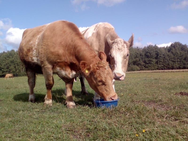 Zwei Kühe leckt Mineralien lizenzfreie stockfotos