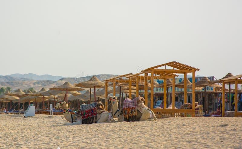 Zwei Kamele, die auf dem Strandurlaubsort, Ägypten sitzen stockfoto