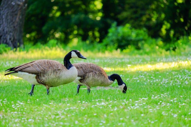 Zwei kanadische Gänse, die Gras in einer grünen Wiese stechen lizenzfreie stockfotos