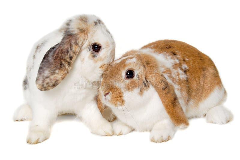 Zwei Kaninchen lokalisiert auf einem weißen Hintergrund lizenzfreie stockfotos