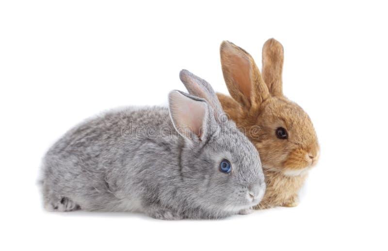 Zwei Kaninchen lokalisiert auf weißem Hintergrund lizenzfreie stockfotografie