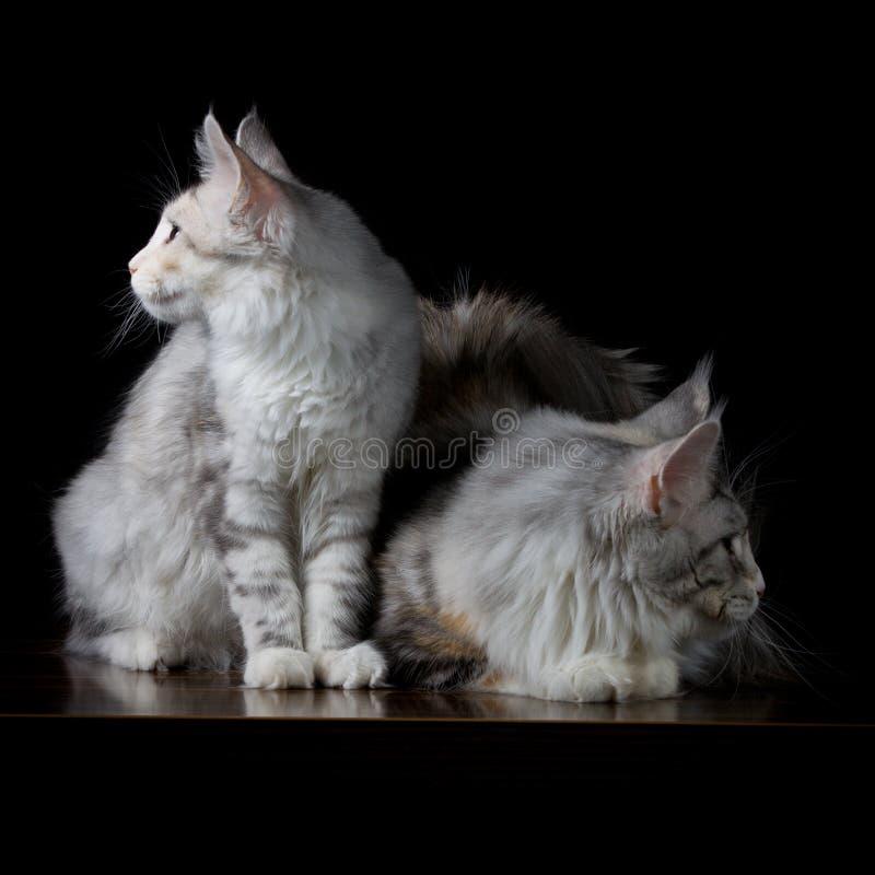 Zwei Katzen auf einer Tabelle lizenzfreies stockbild