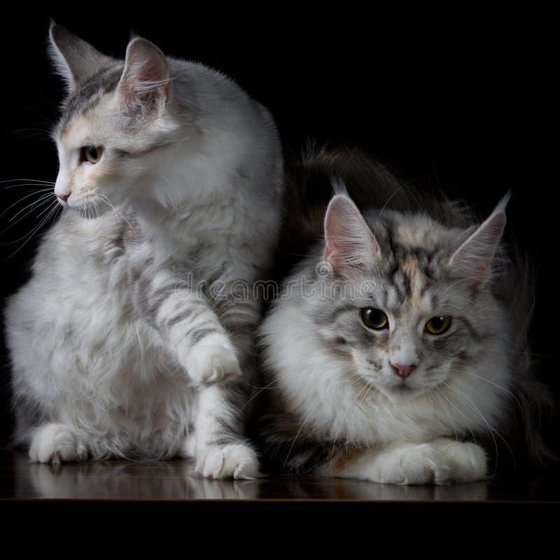 Zwei Katzen auf einer Tabelle stockfotos