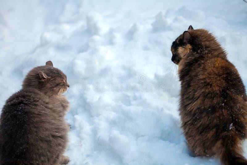 Zwei Katzen, die in Schnee gehen lizenzfreie stockfotos