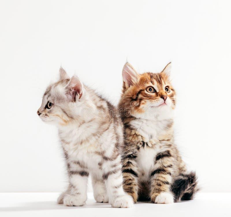Zwei Katzen stellen sich vor, als wären sie entfremdet oder wütend stockfotografie