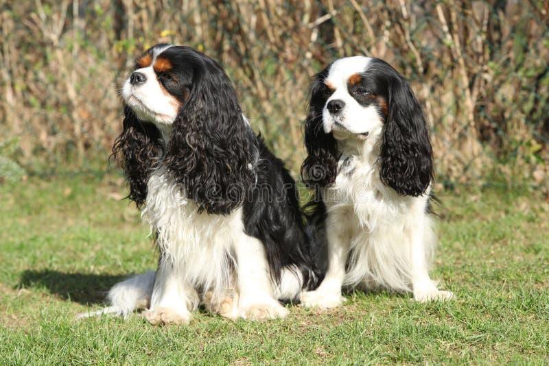 Zwei Kavalier-König Charles Spaniels im Garten stockfotografie