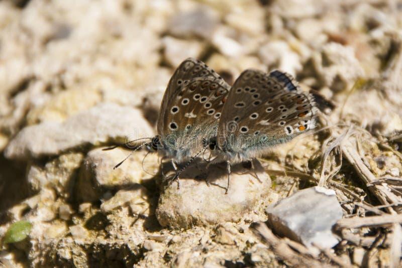 Zwei kleine Adonis Blue-Schmetterlinge, Lysandra-bellargus stockbilder
