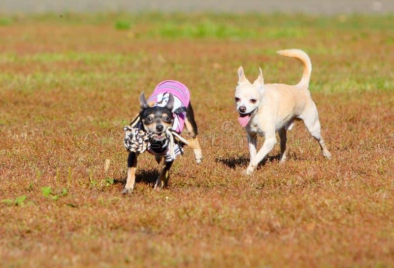 Zwei kleine aktive Hunde stranden mit ihrem Lieblingsspielzeug Nette Welpen spielen und springen draußen stockbild