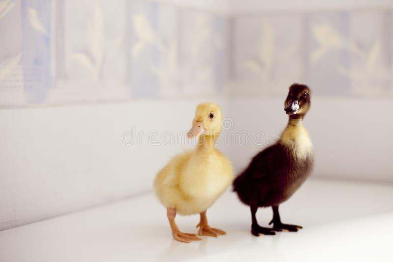 Zwei kleine Enten lizenzfreie stockfotos
