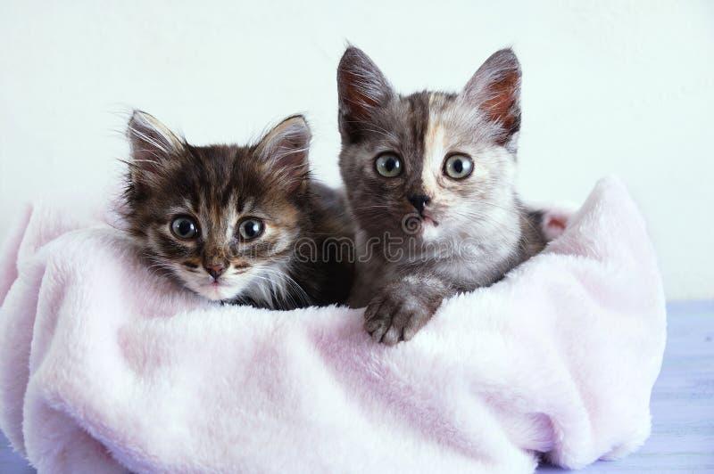 Zwei kleine, graue Kätzchen liegen auf rosa Plaid auf weißem Grund stockbilder