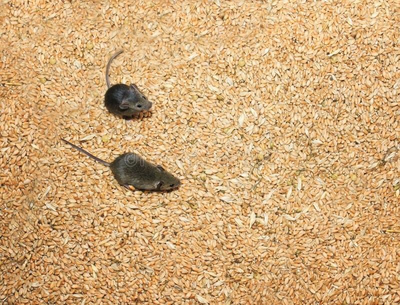Zwei kleine graue Mäuse, die herum in Vorräte an Weizenkörnern laufen und die Ernte verderben stockbilder