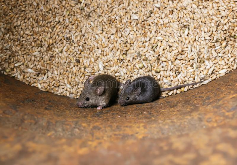 Zwei kleine graue Nagetiermäuse sitzen in einem Fass mit einem Vorrat an Weizenkörnern, verderben die Ernte und oben erschrocken  lizenzfreies stockbild