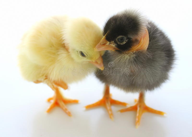 Zwei kleine Hühner stockfoto