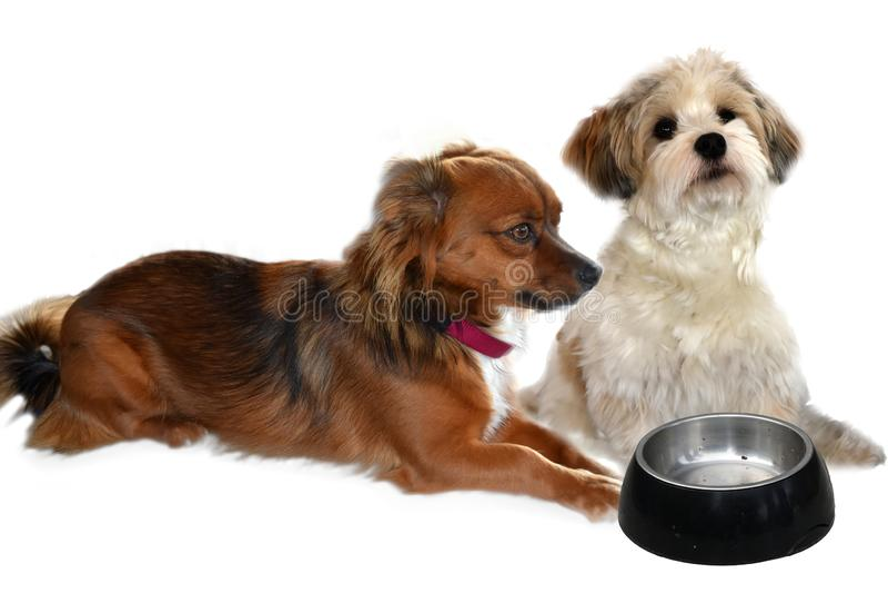 Zwei kleine Hunde, die auf Nahrung warten lizenzfreies stockfoto