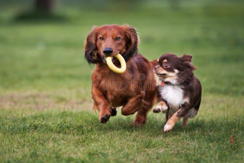 Zwei kleine Hunde, die draußen spielen lizenzfreie stockfotografie