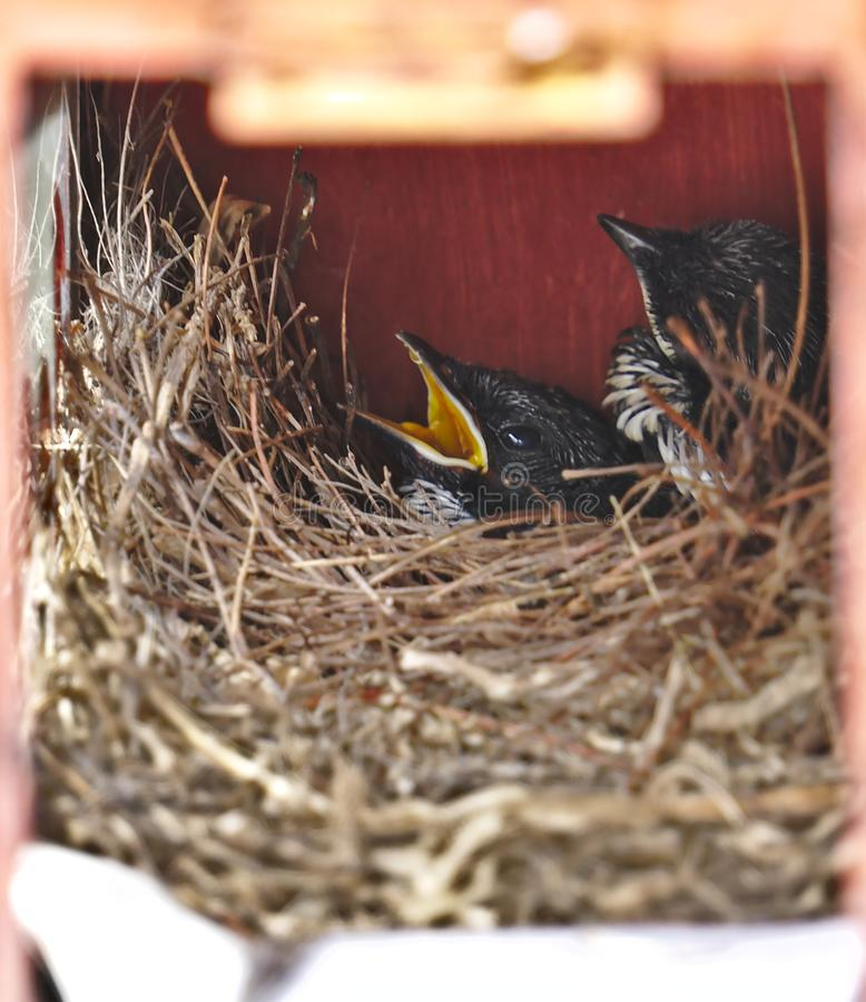 Zwei kleine hungrige schwarze orientalische Elsterrotkehlchenvögel legen sicher im kleinen gemütlichen braunen hölzernen Nest im  stockfoto