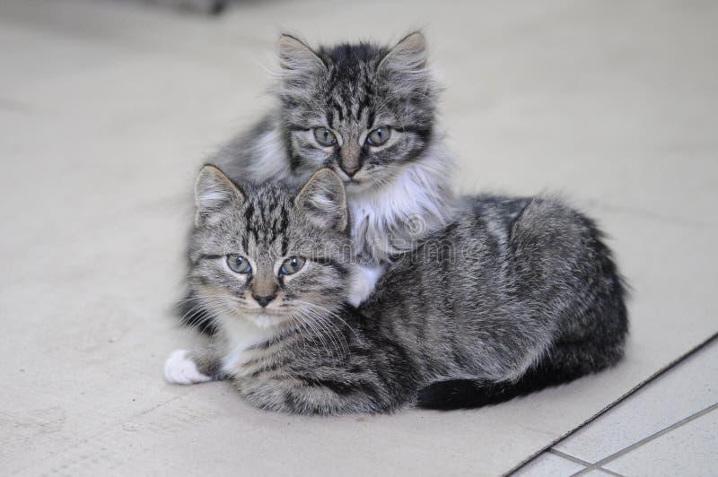 Zwei kleine Kätzchen stockfotografie