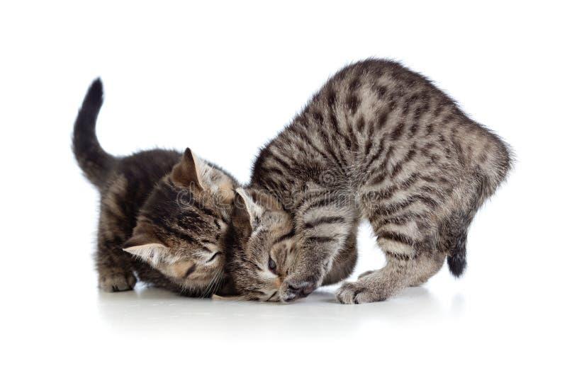 Zwei kleine Kätzchen, die zusammen spielen stockbilder
