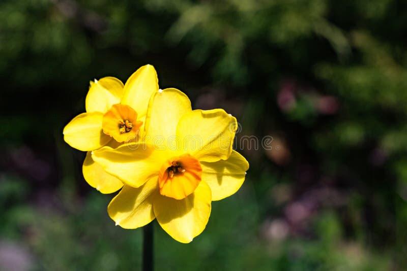 Zwei kleine Ostern-Narzissenbirnen Frühling der helles, glückliches, nettes, gelbes Goldorange kleinen Schale einzigartige, die h lizenzfreies stockbild