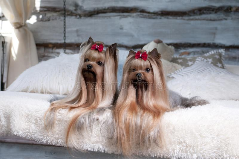 Zwei kleine schöne Hunde Yorkshire Terrier stockbild