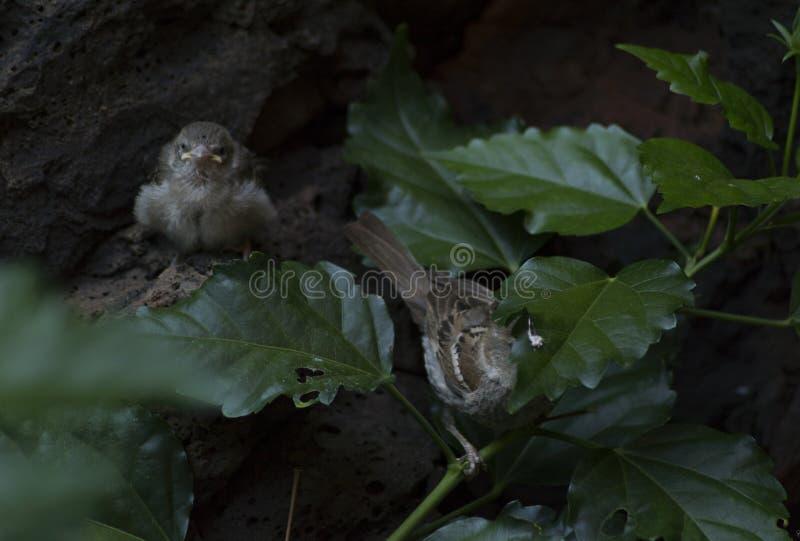 Zwei kleine Vögel, die entlang Sie anstarren lizenzfreie stockfotografie