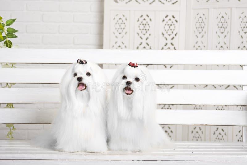 Zwei kleine weiße schöne Hunde maltesisch stockfoto
