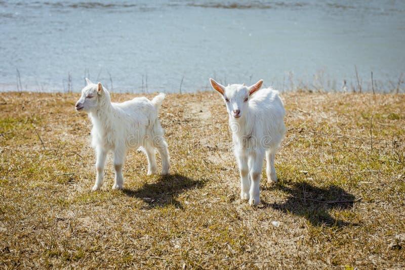 Zwei kleine Ziegen untersuchen den Rahmen Reizende und schöne Tiere lizenzfreies stockfoto