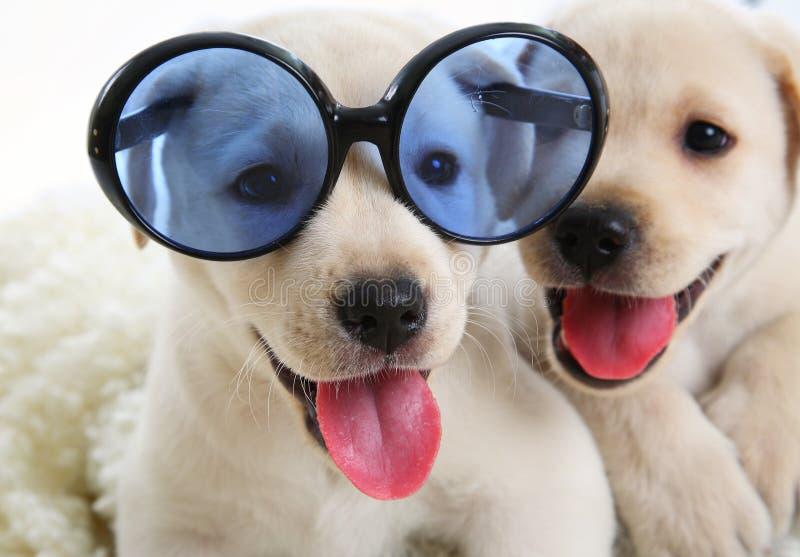 Zwei kleines Labrador stockbild