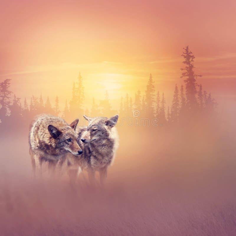 Zwei Kojoten im Wald bei Sonnenuntergang stockbild