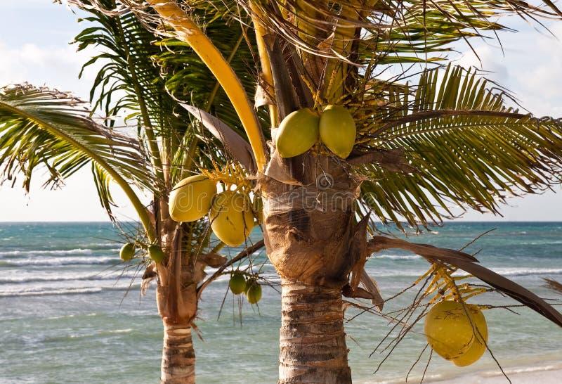 Zwei Kokosnuss-Palmen auf einem tropischen Strand stockfotos