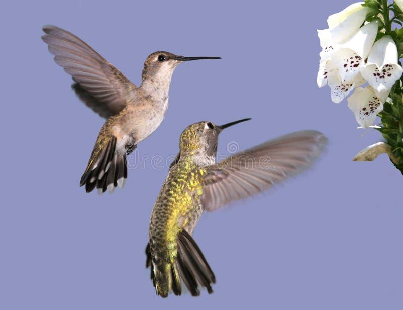 Zwei Kolibris stockfoto