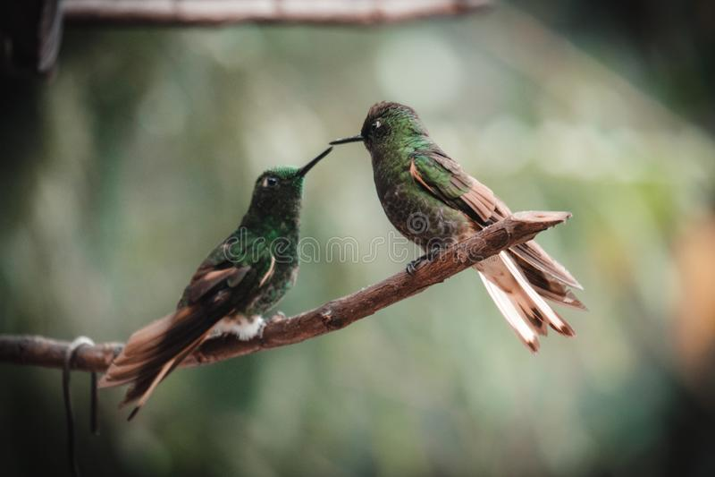 Zwei Kolibris in einem tropischen Regenwald stockbilder