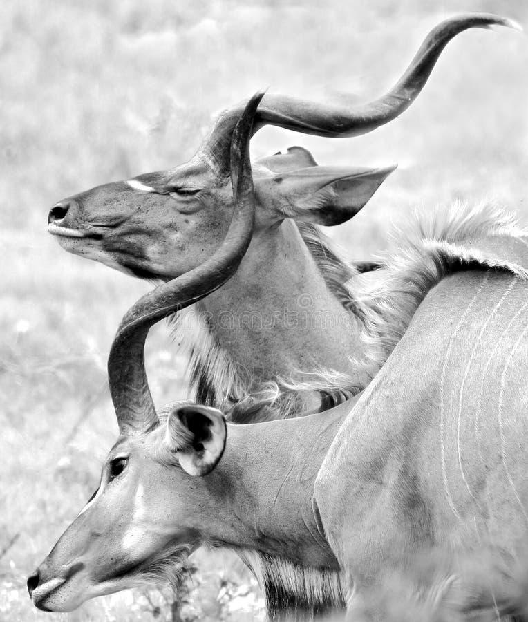 Zwei kudu Stiere stockfoto
