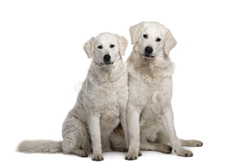 Zwei Kuvasz-Hunde, 17 Monate alte lizenzfreie stockfotos