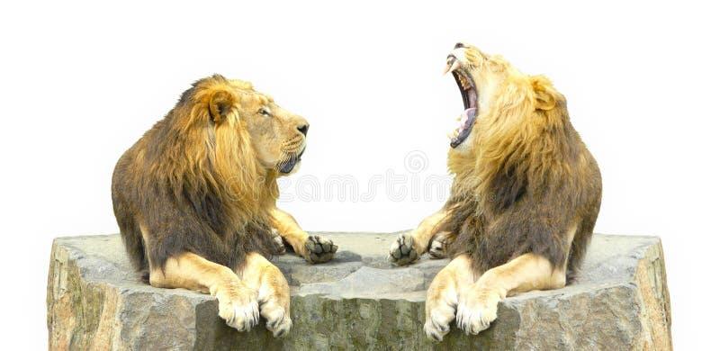 Zwei Löwen auf einem Felsen stockbild