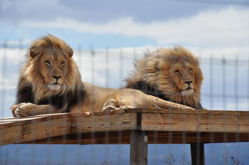Zwei Löwen auf einem Gestell, Mähnen im Wind lizenzfreies stockbild
