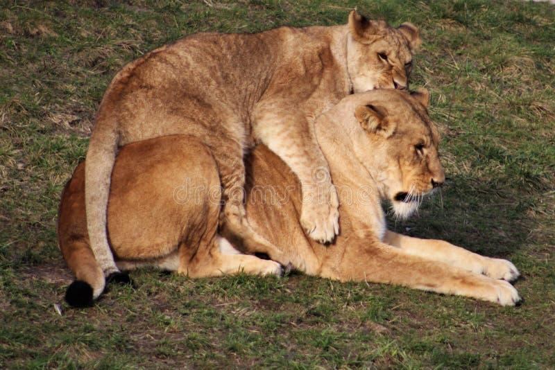 Zwei Löwen täuschen das Kämpfen im Gras vor lizenzfreies stockbild